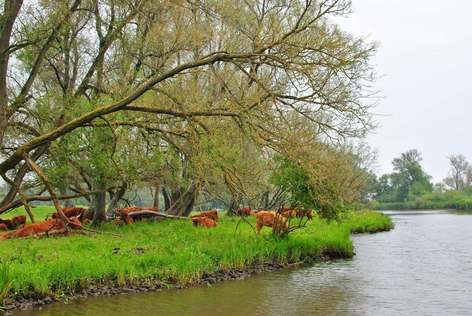 Koeien-in-de-biesbosch