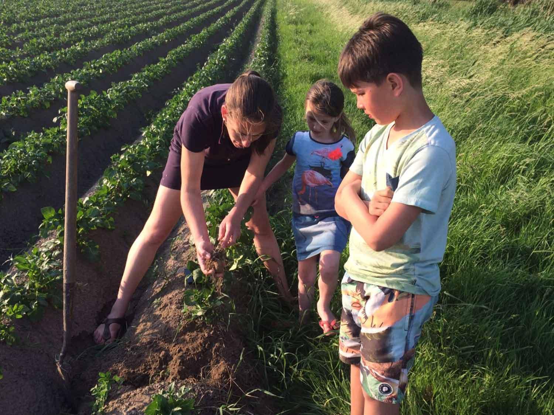 De-biologische-camping-hoe-groeien-aardappelen