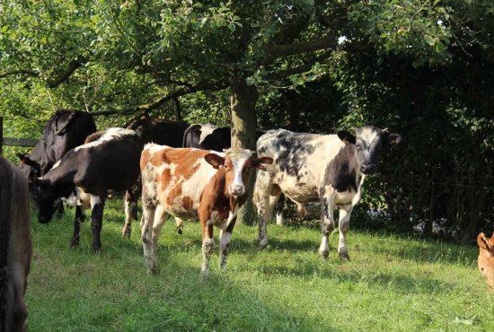 De-biologische-camping-koeien
