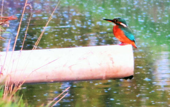 Kingfisher-in-ditch-green-camping-idp